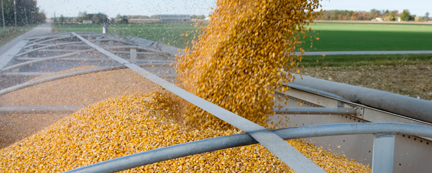 Image of a corn harvest